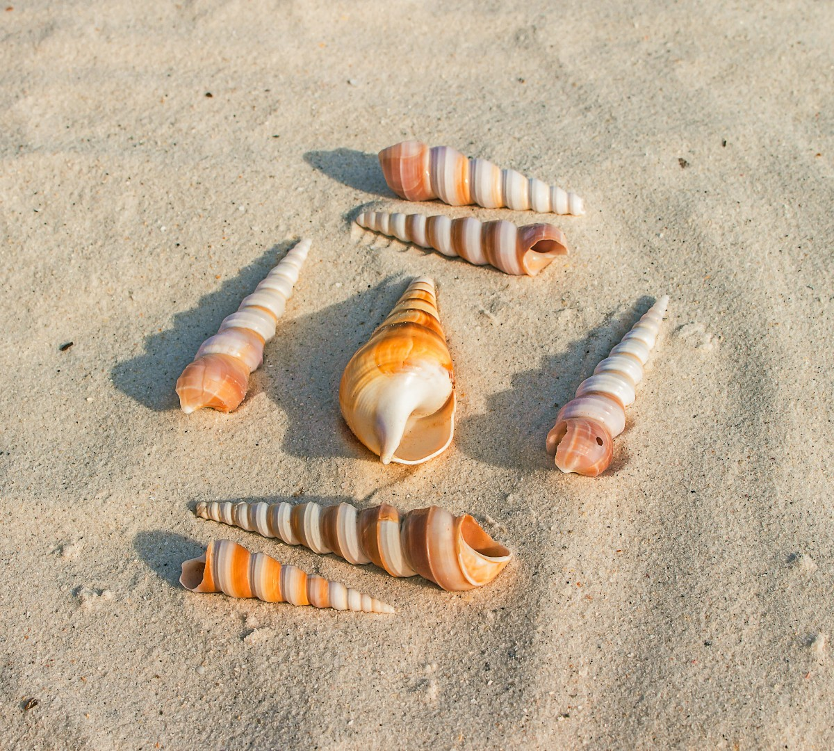 sea_shells_sand_beach_marine_animal_gastropod_molluscum-592419